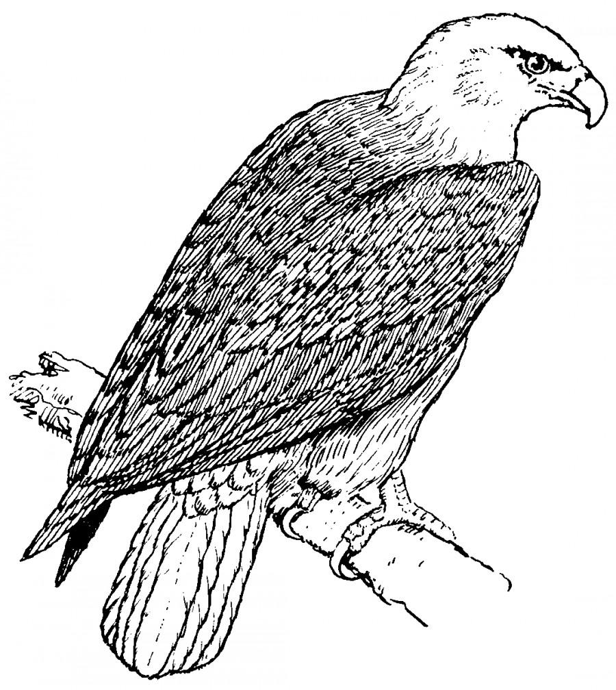 Орел как живой  раскраска №4067  printonicru