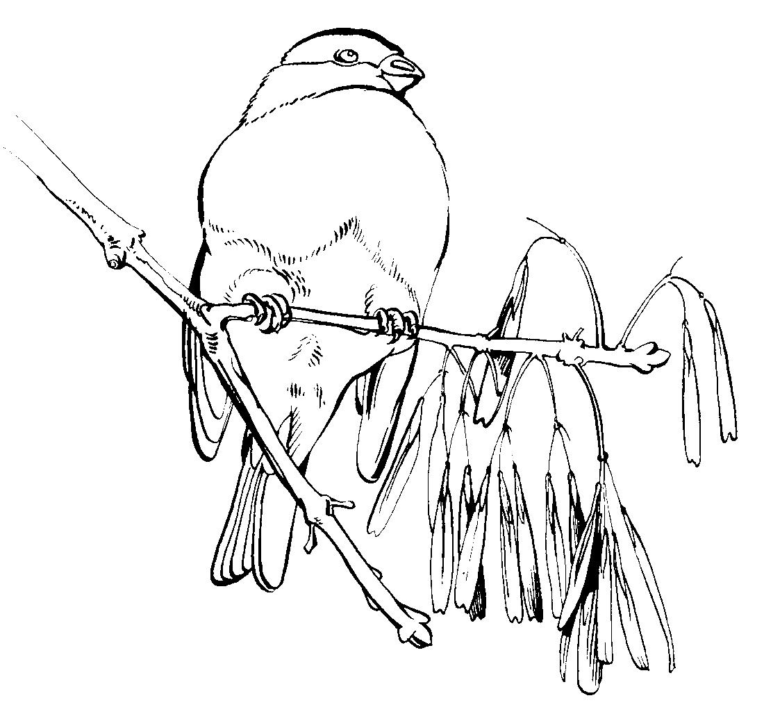 Зимние птицы картинки раскраски