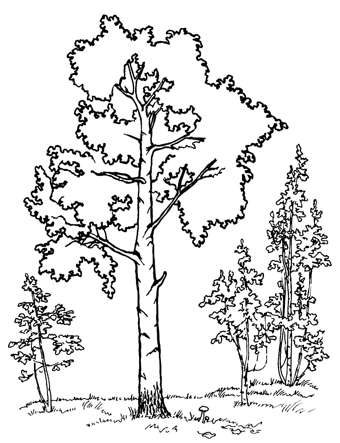 Береза в лесу - раскраска №13347 | Printonic.ru