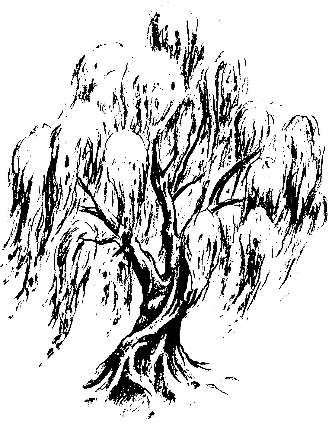 Ива на ветру - раскраска №13406   Printonic.ru