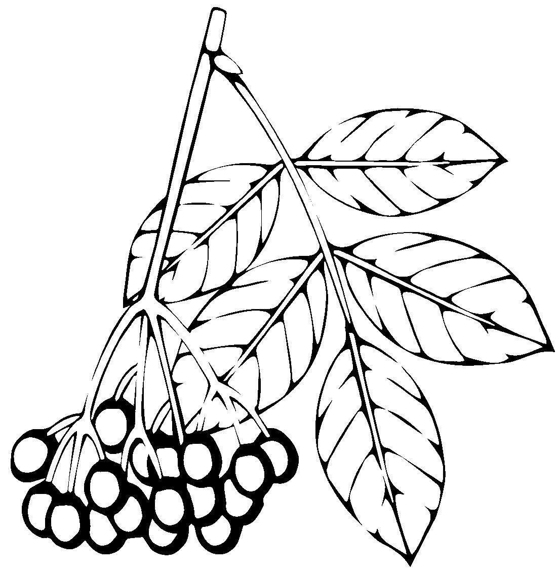 Раскраска гроздь рябины распечатать