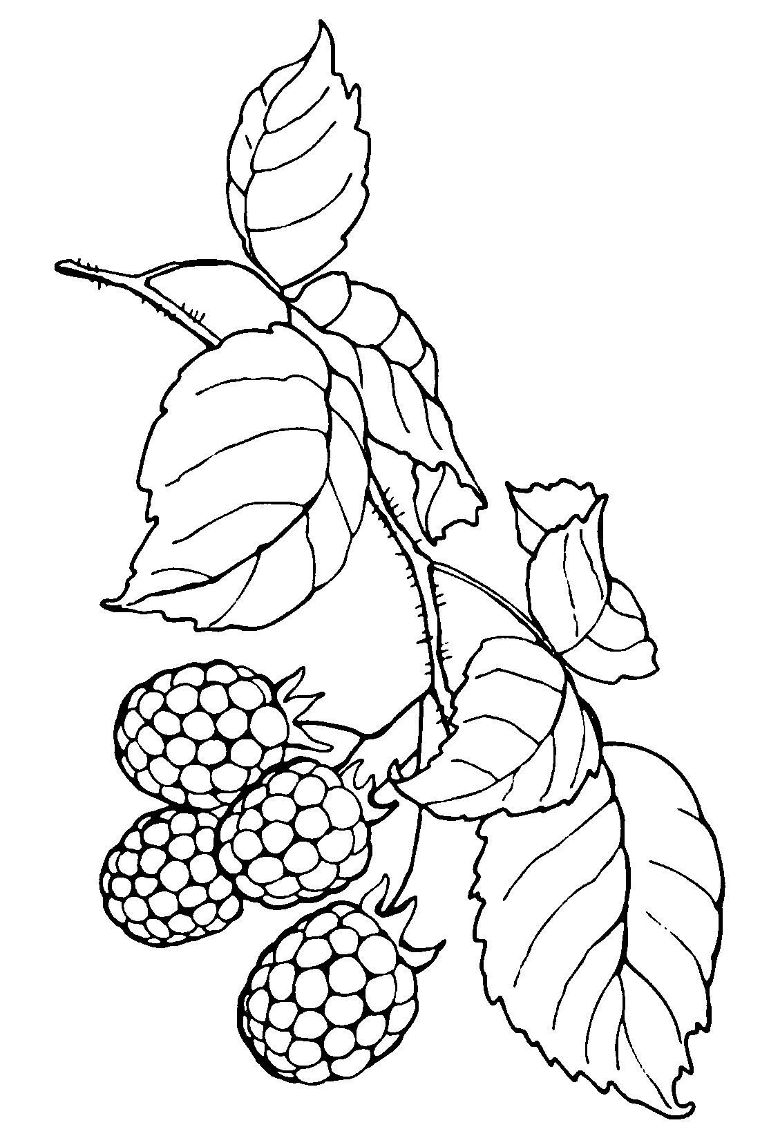 Малиновые ягоды - раскраска №9806 | Printonic.ru