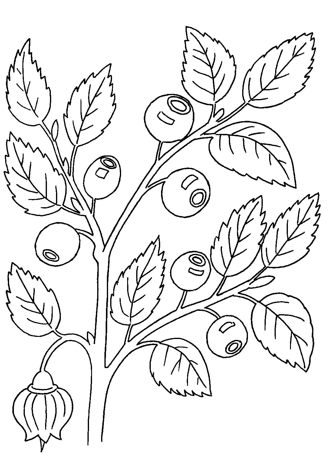 Черника на ветке - раскраска №11152   Printonic.ru