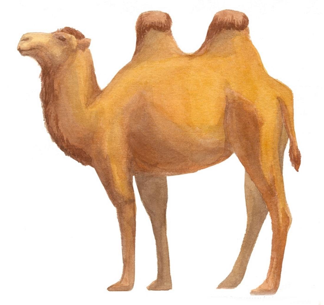 верблюд картинка рисовать известна притча языцах