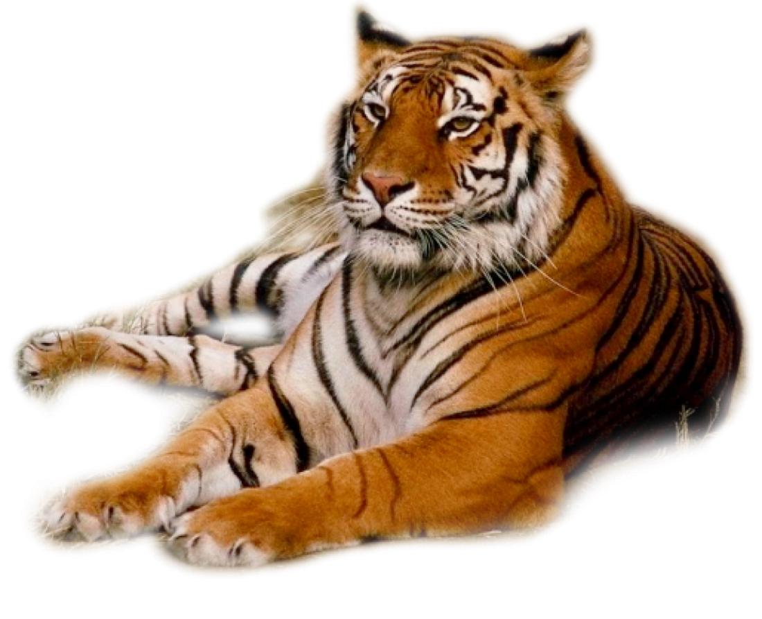 это картинка тигр без фона легкое