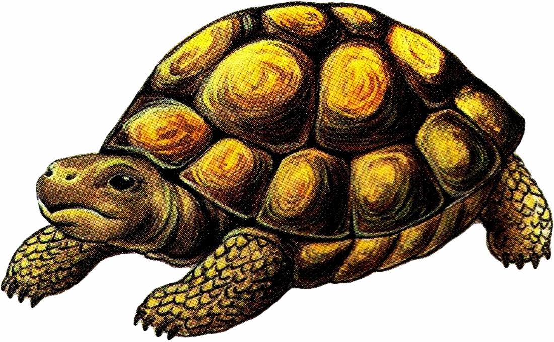 Черепаха картинка в детский сад