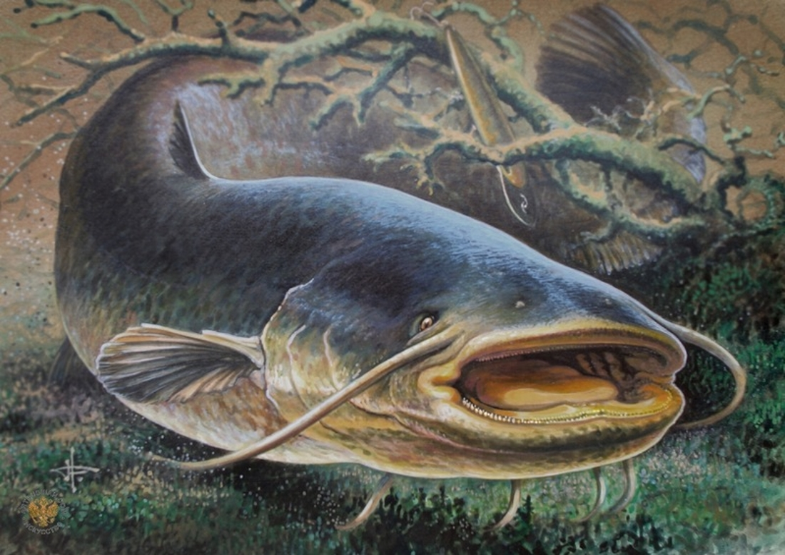 Картинки рыбки сом