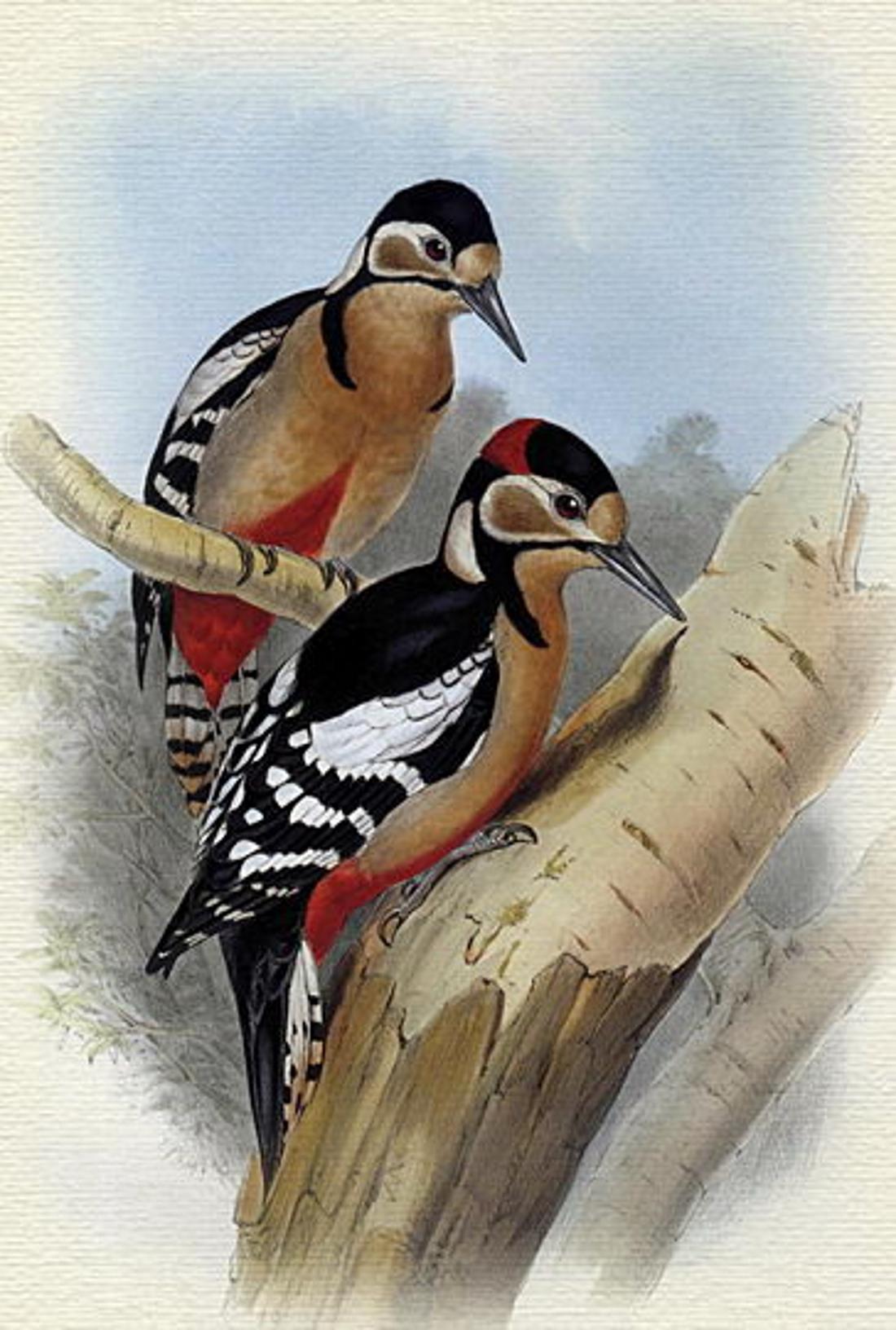 Птицы картинки для детей дятел