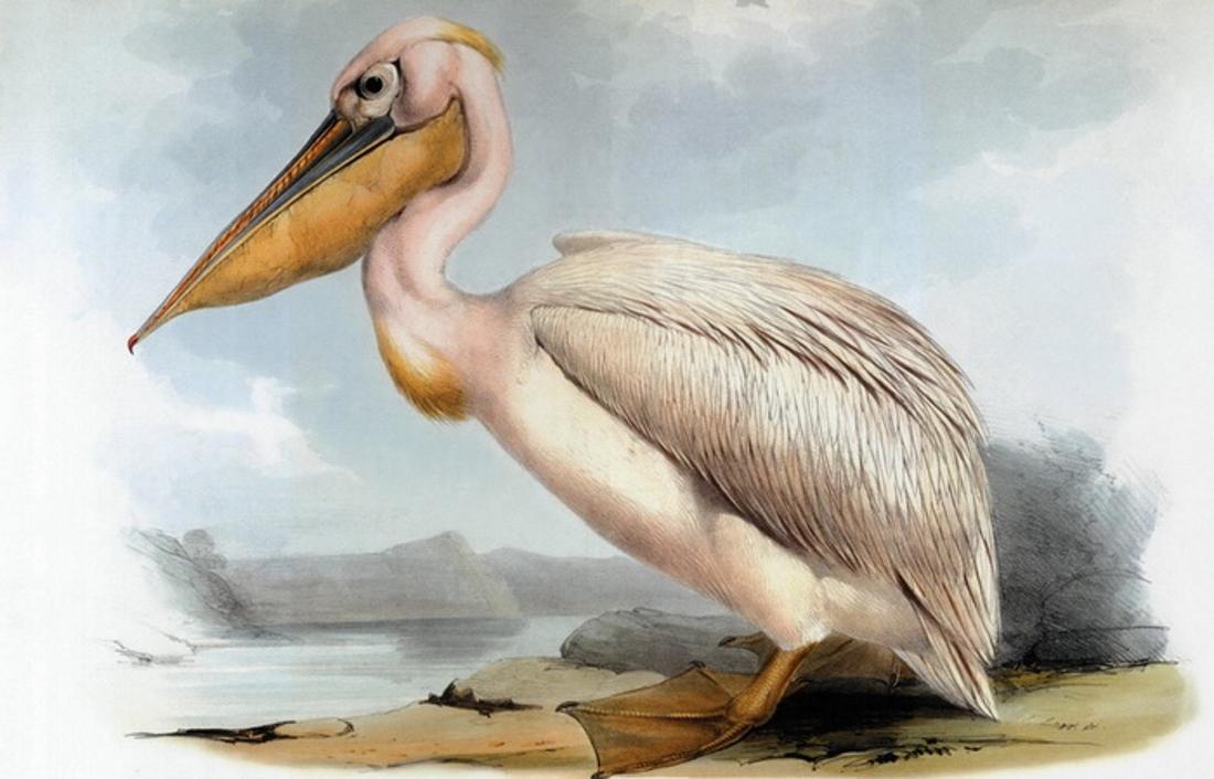 Пеликаны картинки карандашом