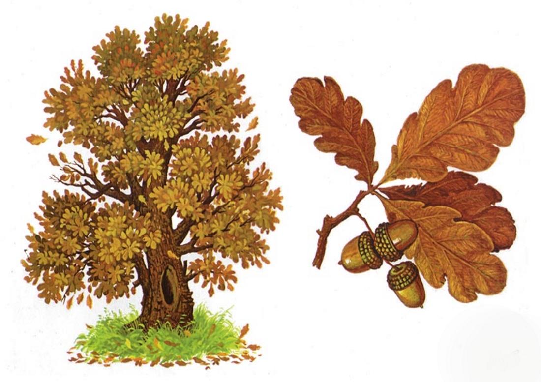 Дуб деревья картинки для детей с названиями