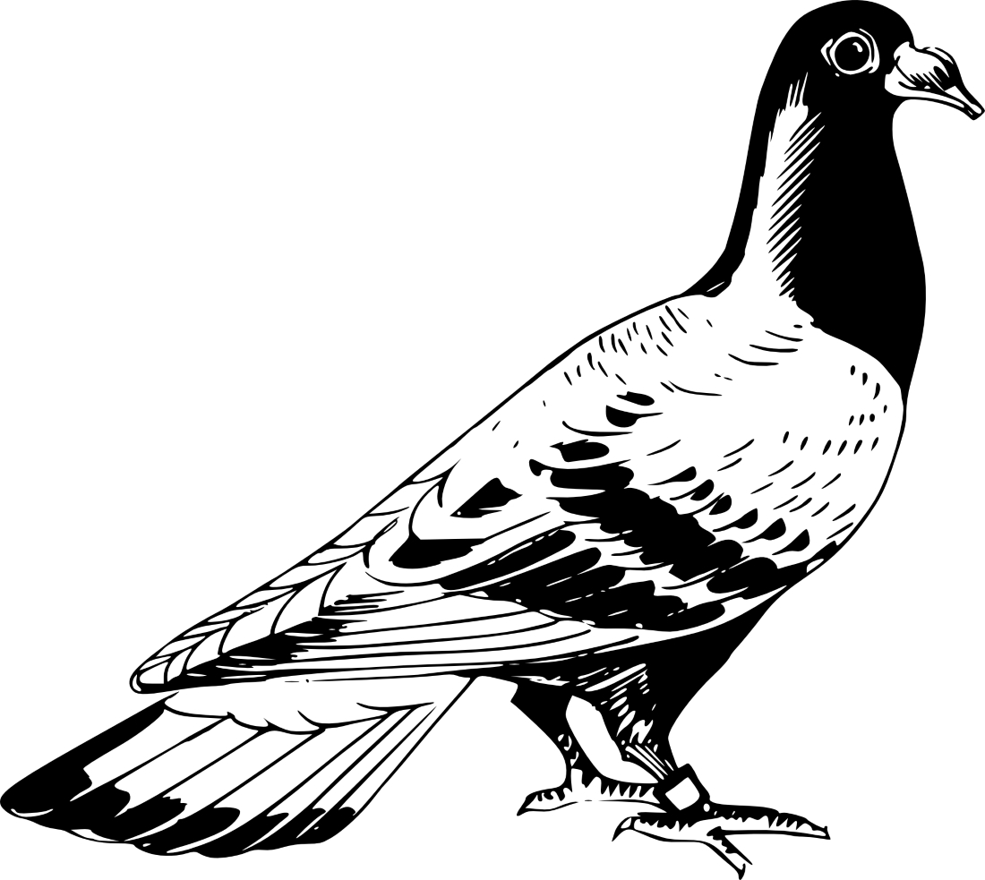 раскраска картинка голубь