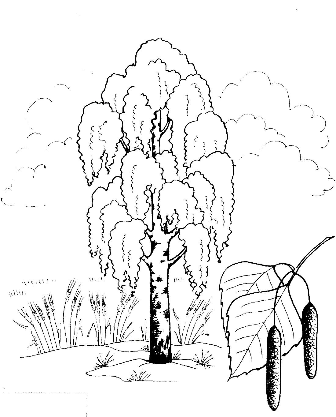 береза и её почки раскраска 11384 Printonic Ru