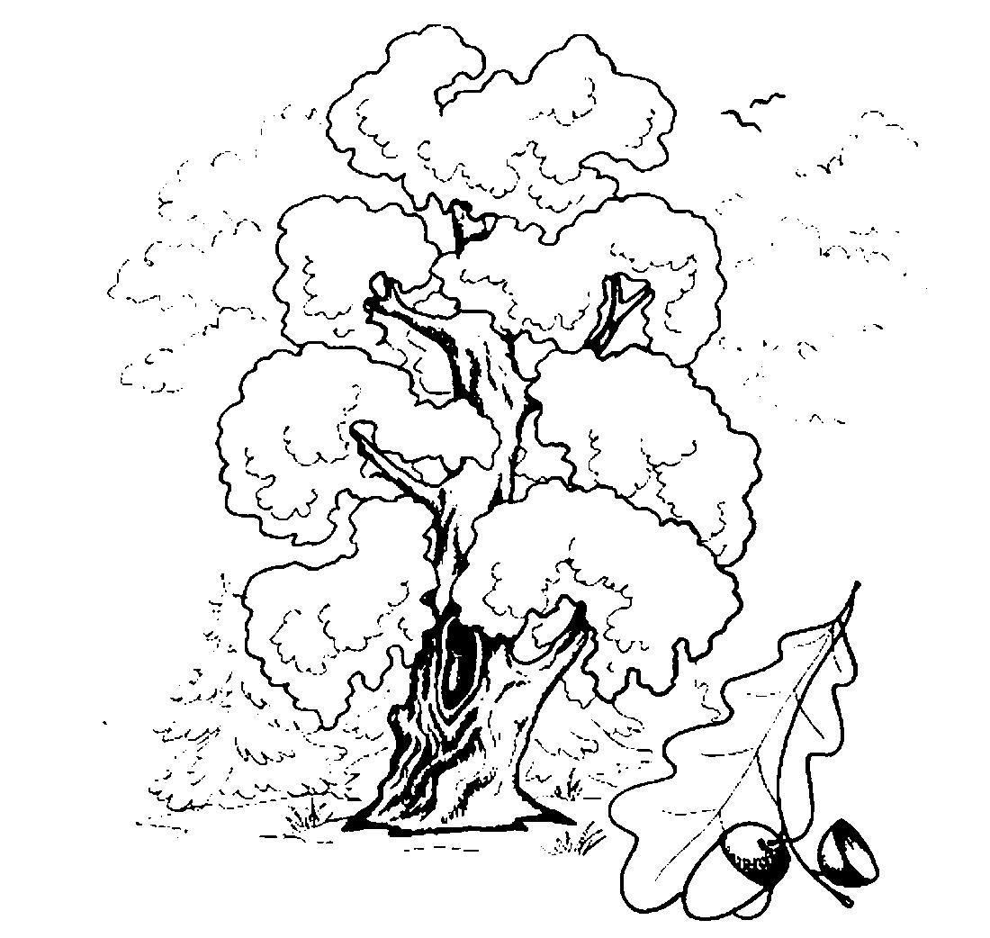 Рисунок дерева дуба с желудями 8