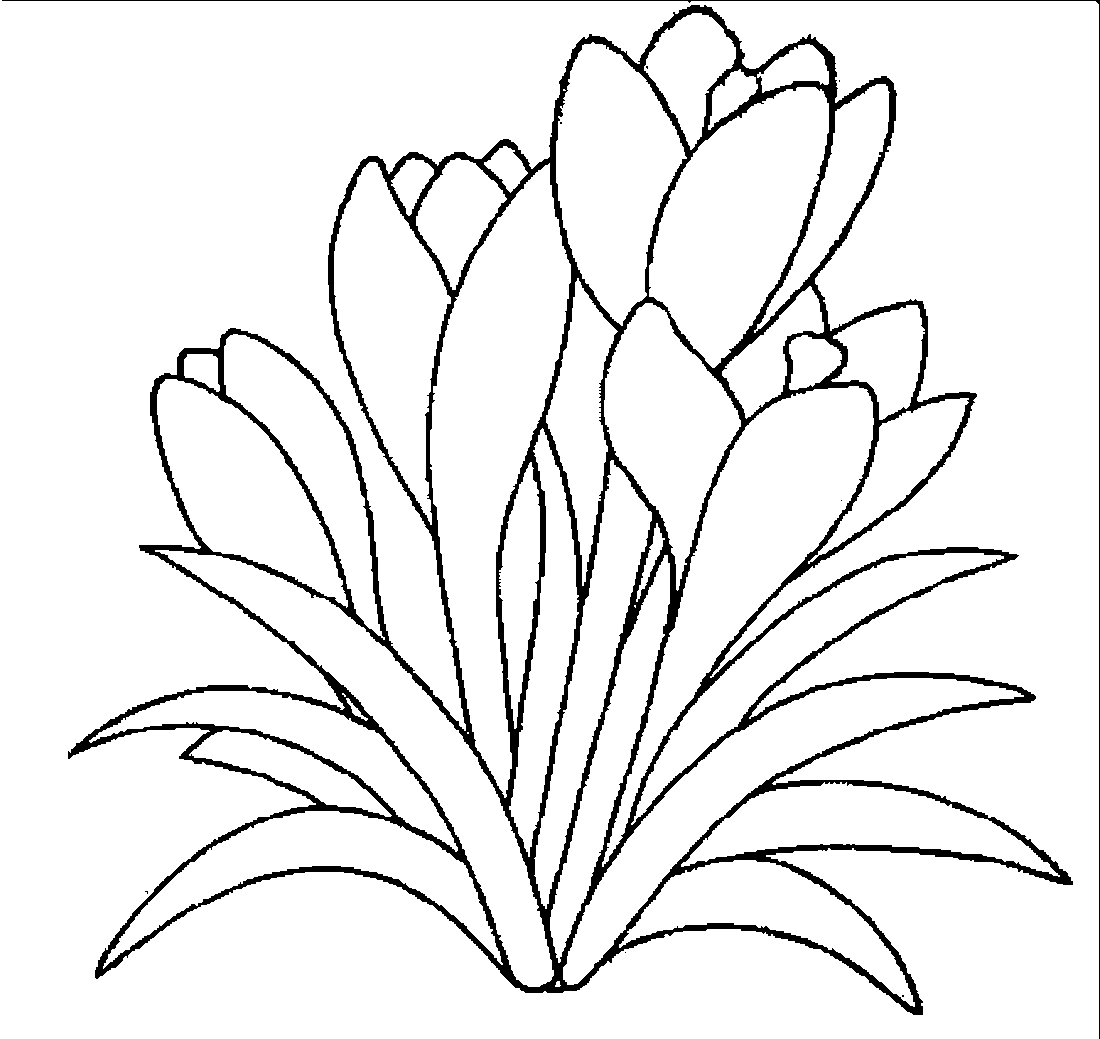 Рисунок крокусы