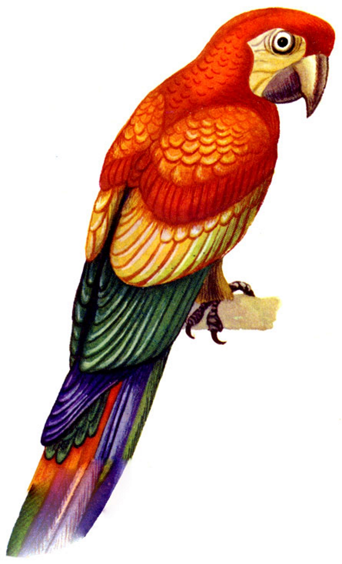 Картинка попугая - картинка №11907 | Printonic.ru