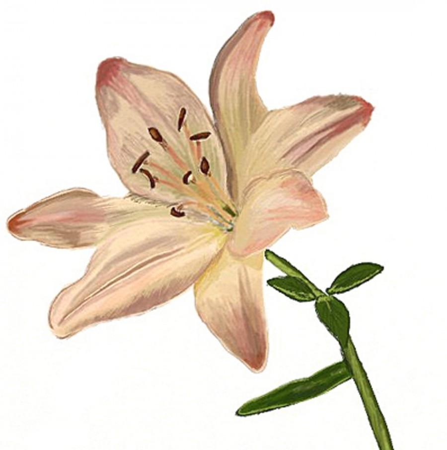 Как нарисовать лилию Рисунок лилии карандашом поэтапно 19