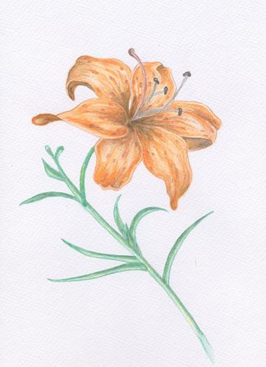 Как нарисовать лилию Рисунок лилии карандашом поэтапно