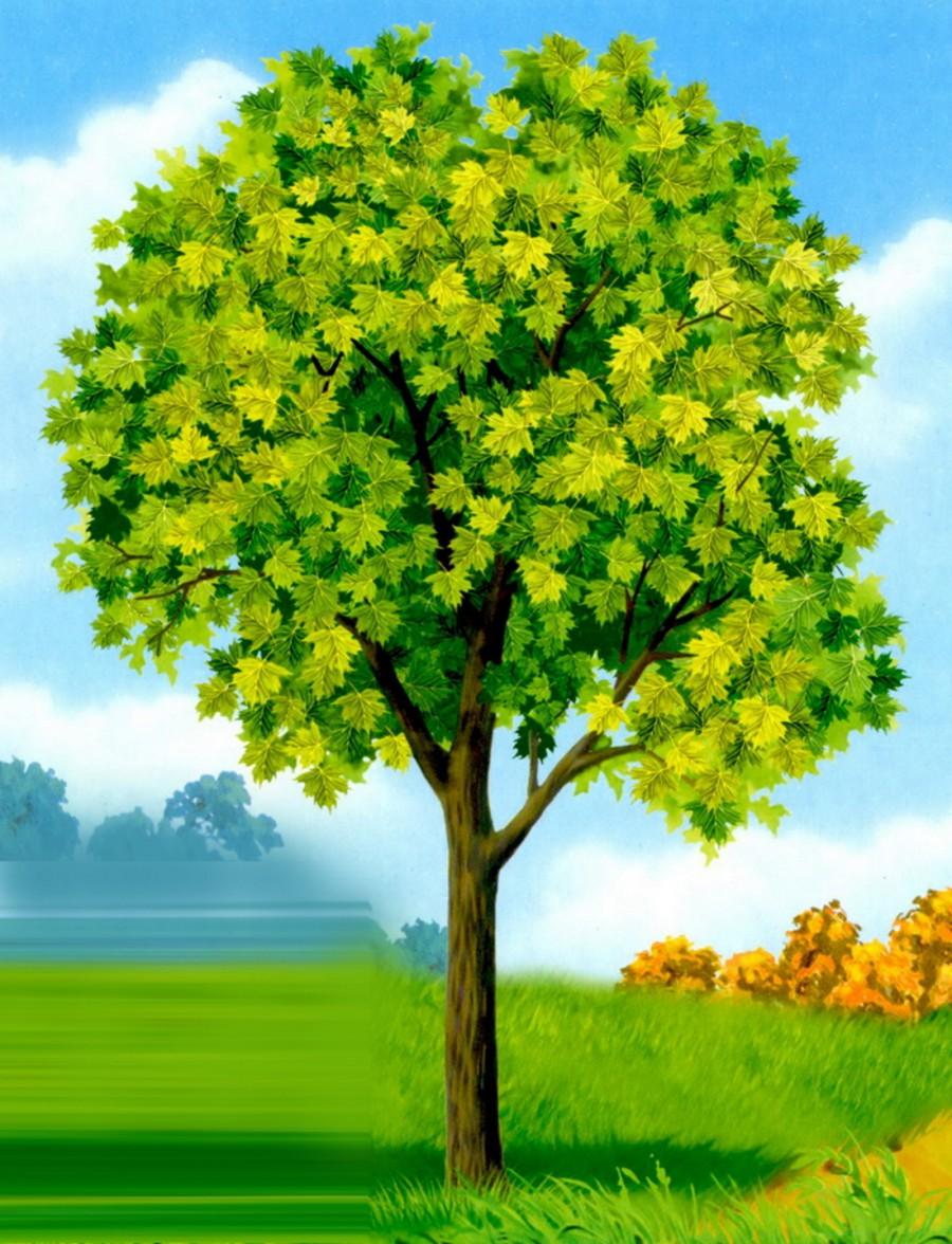 Фото дерева клена для детей